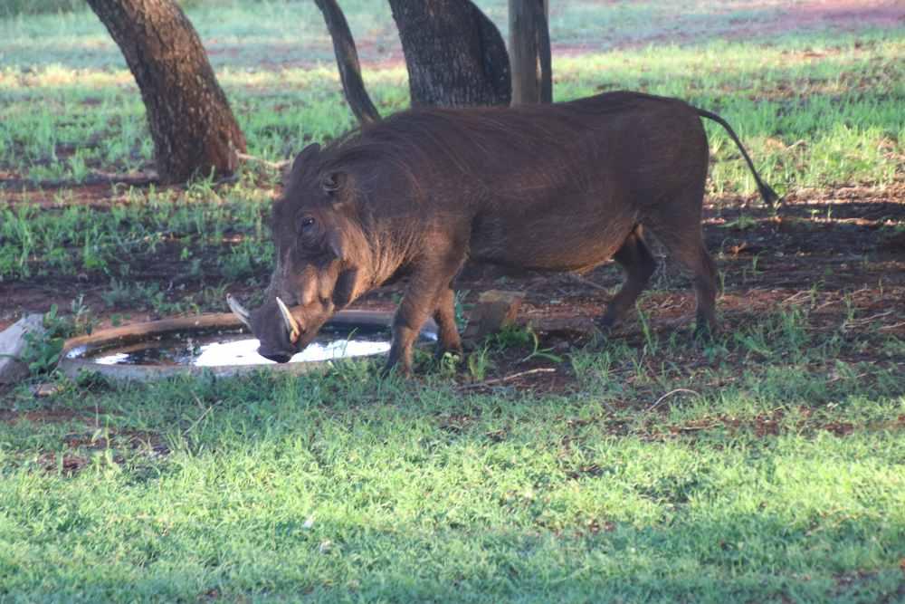 wild zwijn met slagtanden