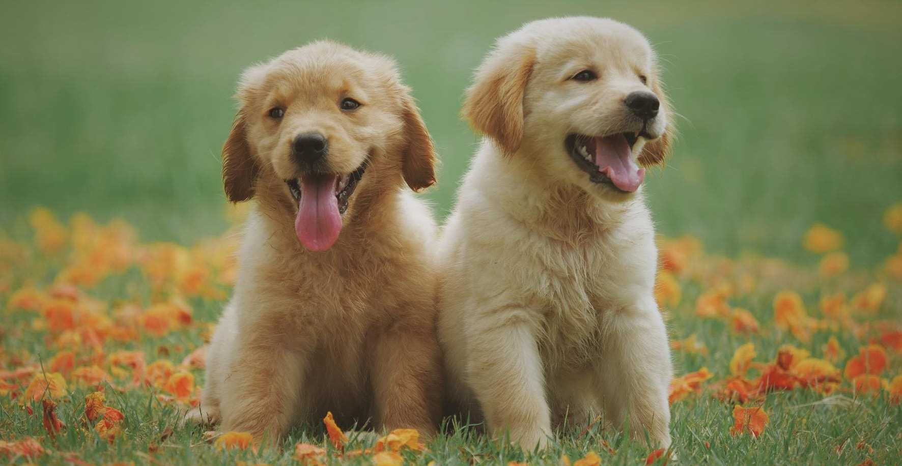Twee honden puppies labrador golden retriever kopen