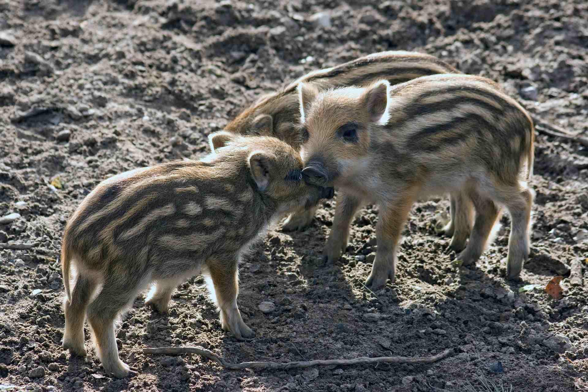 wild zwijn gevaarlijk in het bos