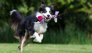 Border Collie spelen met hondenspeelgoed op het gras