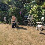 Spelen met Old Engelse Bulldog Amy en een bal in de tuin