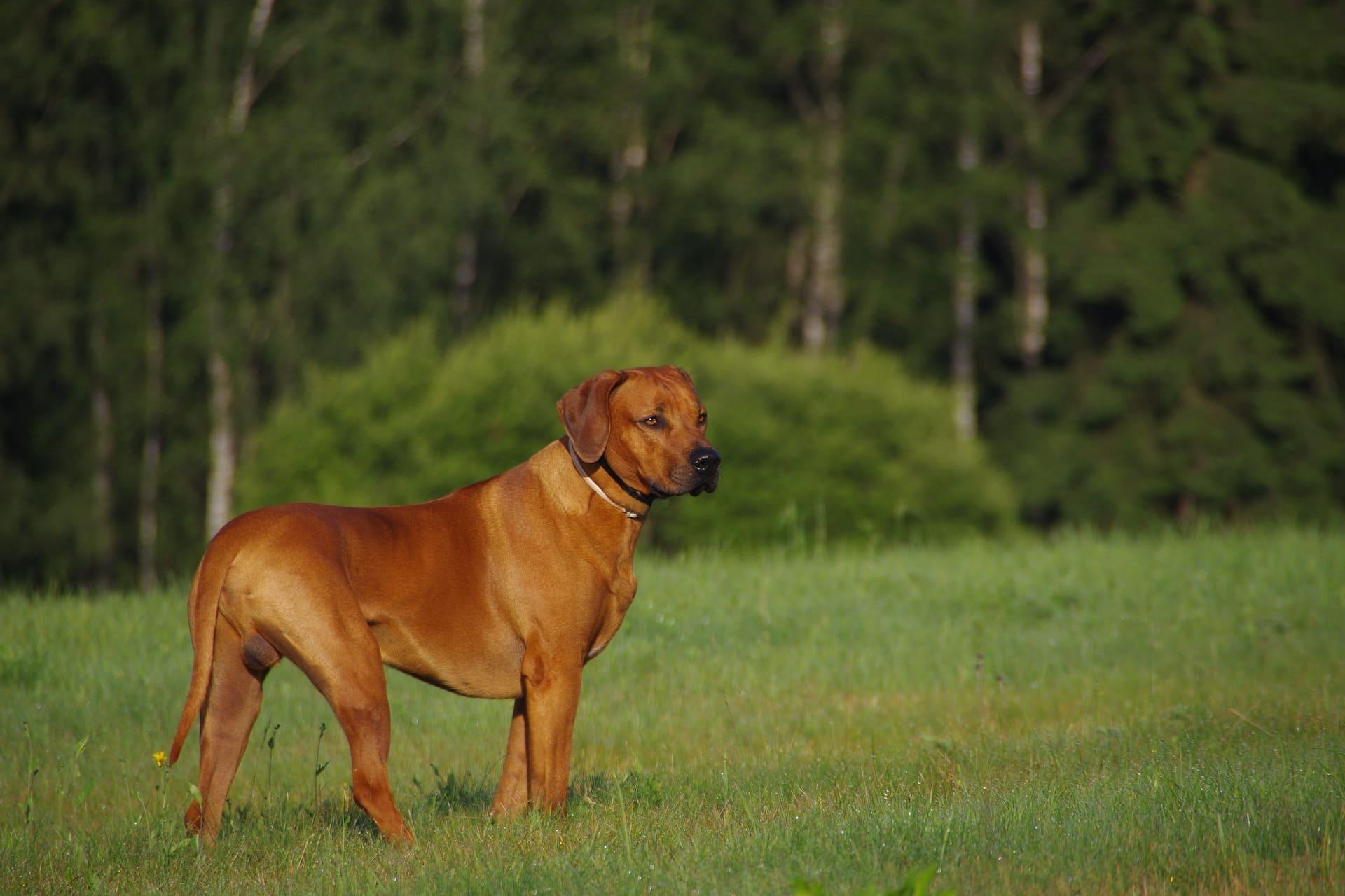 Hond Rhodesian Ridgeback