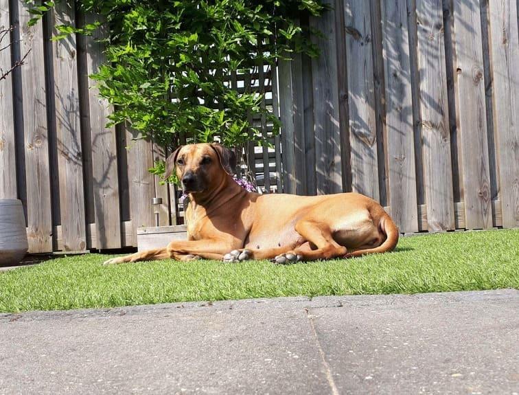 Kenza hond Rhodesian Ridgebacj op het gras