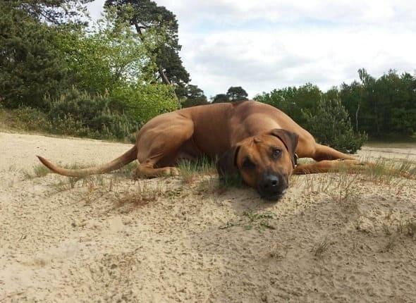Kenza hond Rhodesian Ridgeback op het zand