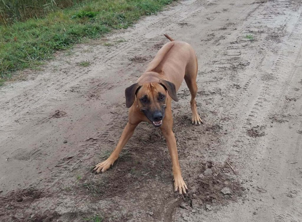 Kenza hond Rhodesian Ridgeback