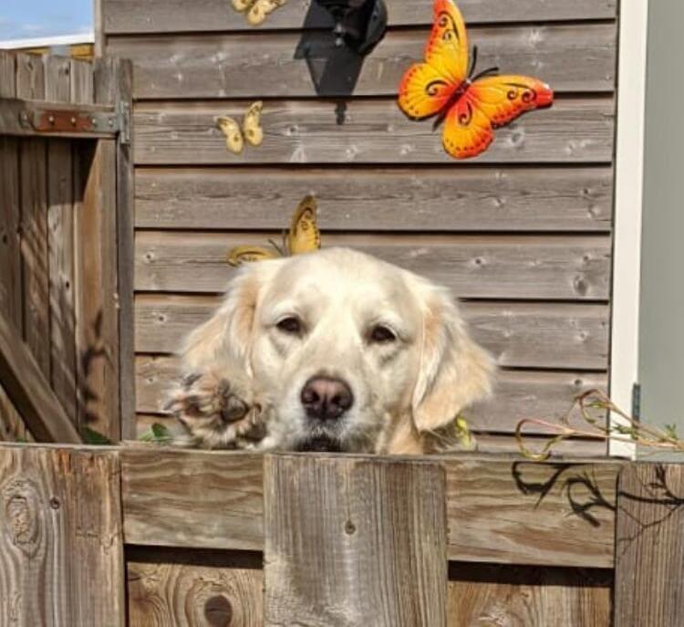 Hond Golden Retriever Whisky bij de schutting
