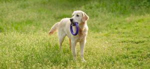 Hond Golden Retriever in het gras met hondenspeelgoed