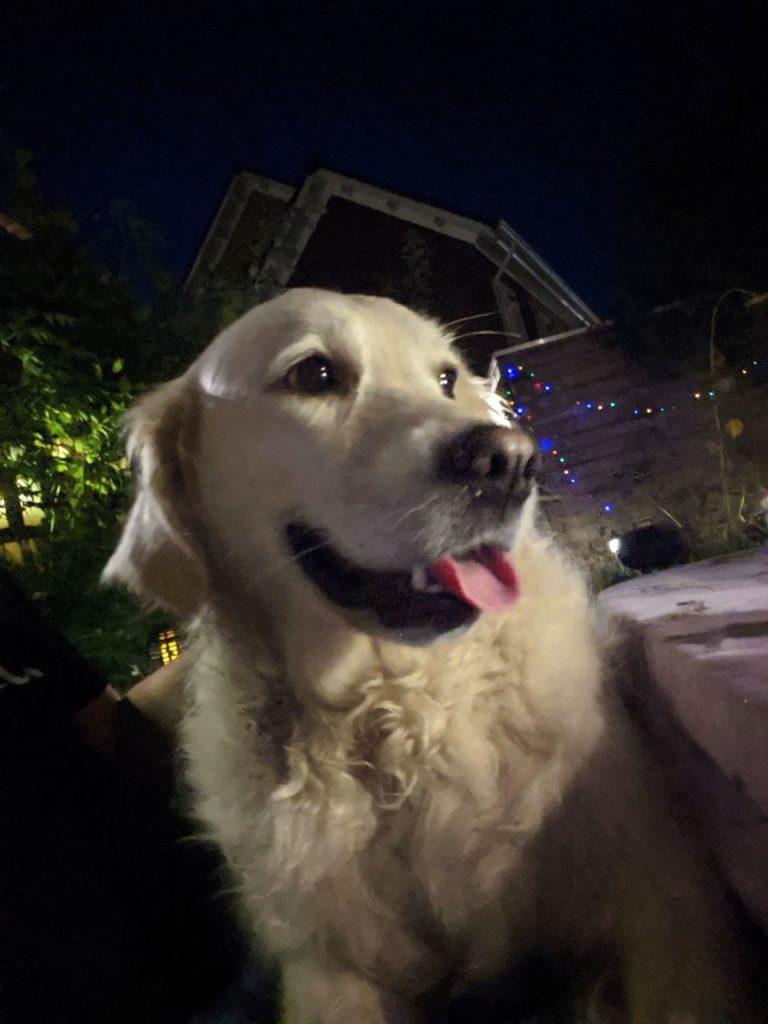 Familiehond Golden Retriever op schoot