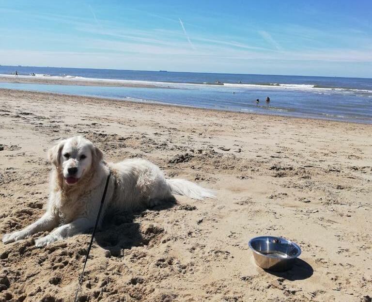 Whisky Golden Retriever op het strand