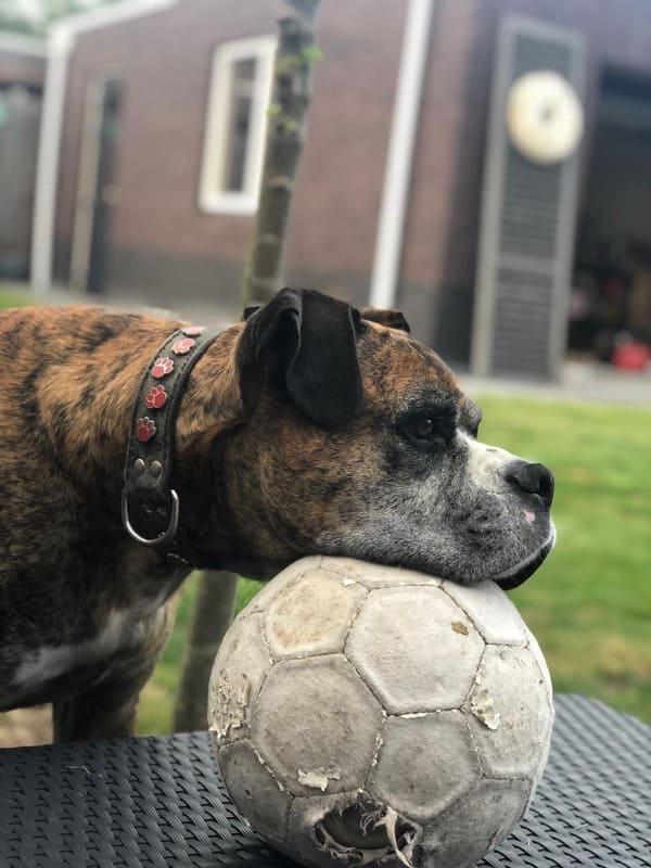 Boxer hond Tyson met een bal in de tuin