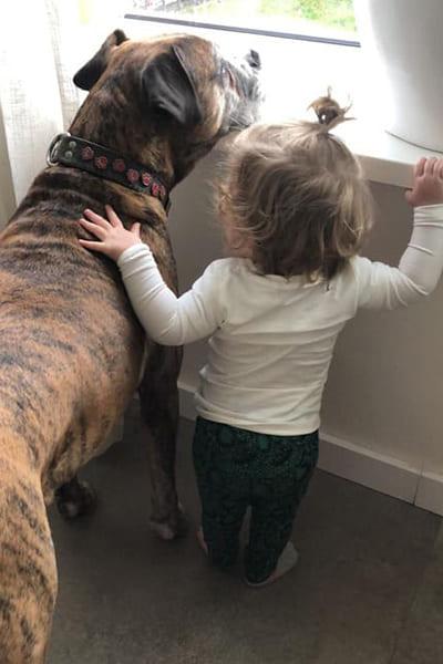 Kindvriendelijke hond Boxer kijkt naar buiten met baby