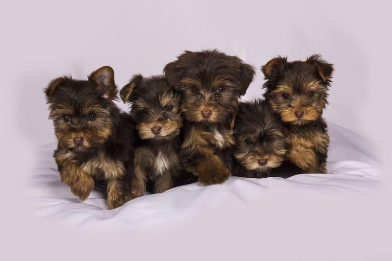 Marktplaats puppy bij broodfokker