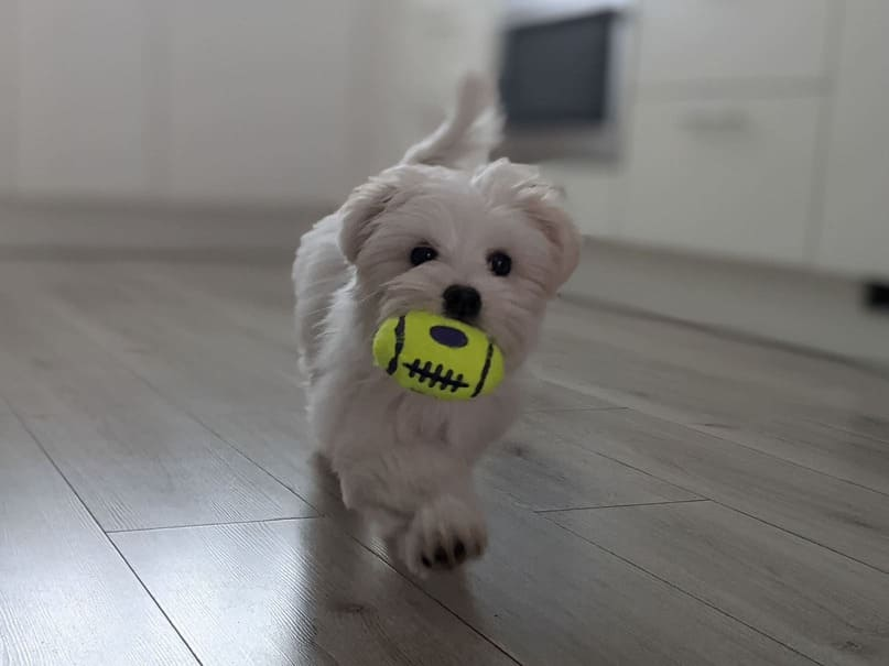 Blije hond komt met favoriete speeltje KONG Air Football Squeaker