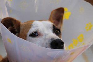 Stafford hond met beschermende kap na operatie