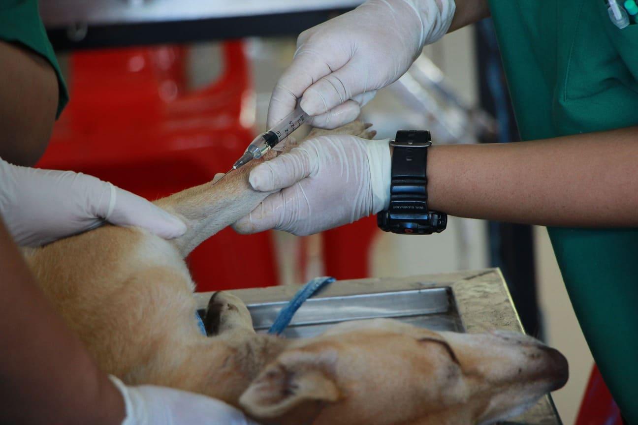 Gescheurde kruisband hond bij dierenarts krijgt prik voor verdoving
