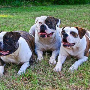 Amerikaanse bulldogs in het gras