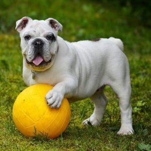 Engelse Bulldog met gele bal in het gras