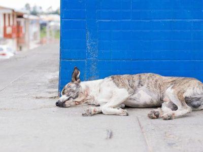 Hond ziek door honden teken