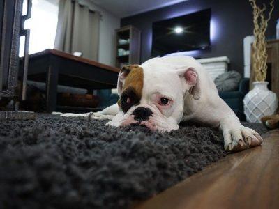 Boxer hond in huis