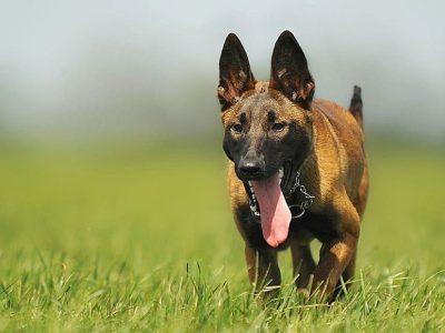 hond hijgt op gras door hitte