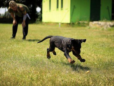 Hond rottweiler puppy spelen